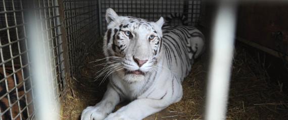 La tigre bianca, attrazione principale del circo Bellucci, dopo lo sbarco a Napoli, 24 gennaio 2011. La carovana del circo e' rimasta bloccata per giorni in Tunisia a causa della rivolta. ANSA / CIRO FUSCO