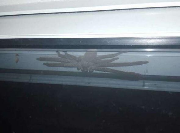 ragno cacciatore