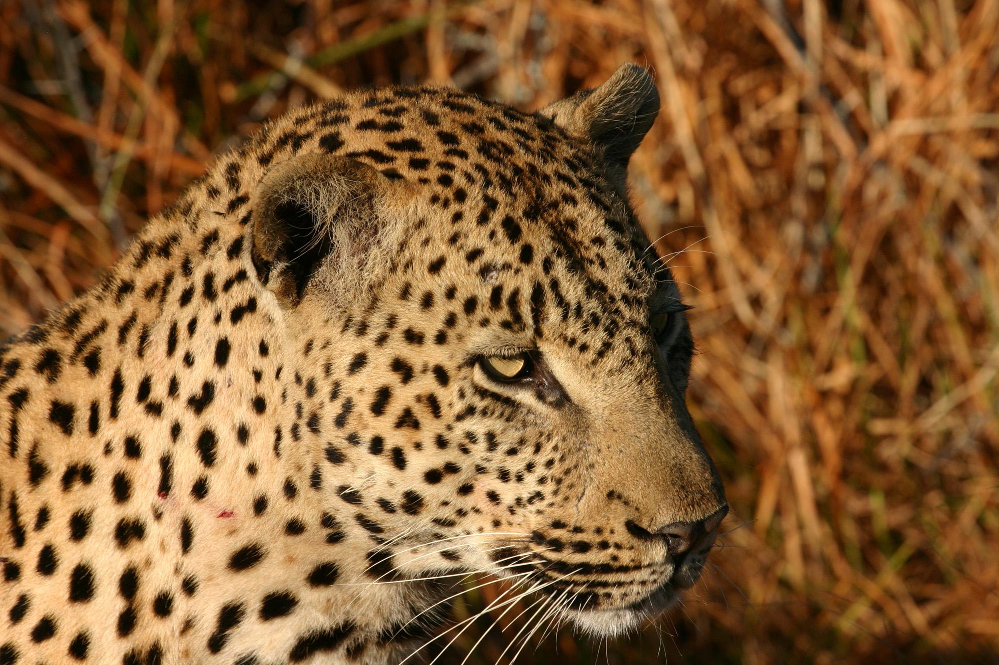 African Leopard Chitwa South Africa Luca Galuzzi 2004