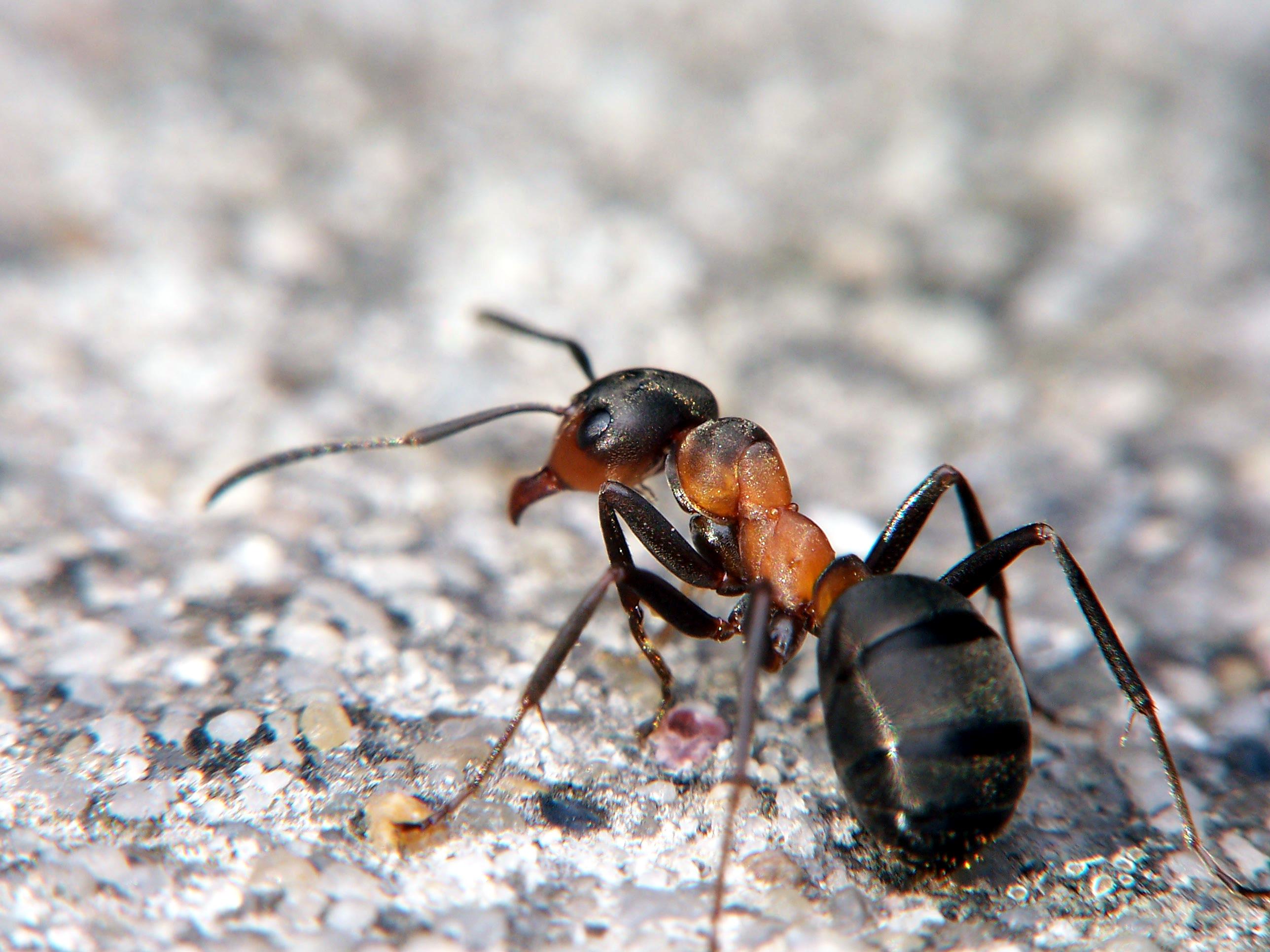 India: bimba di 12 anni con colonia di formiche nell'orecchio