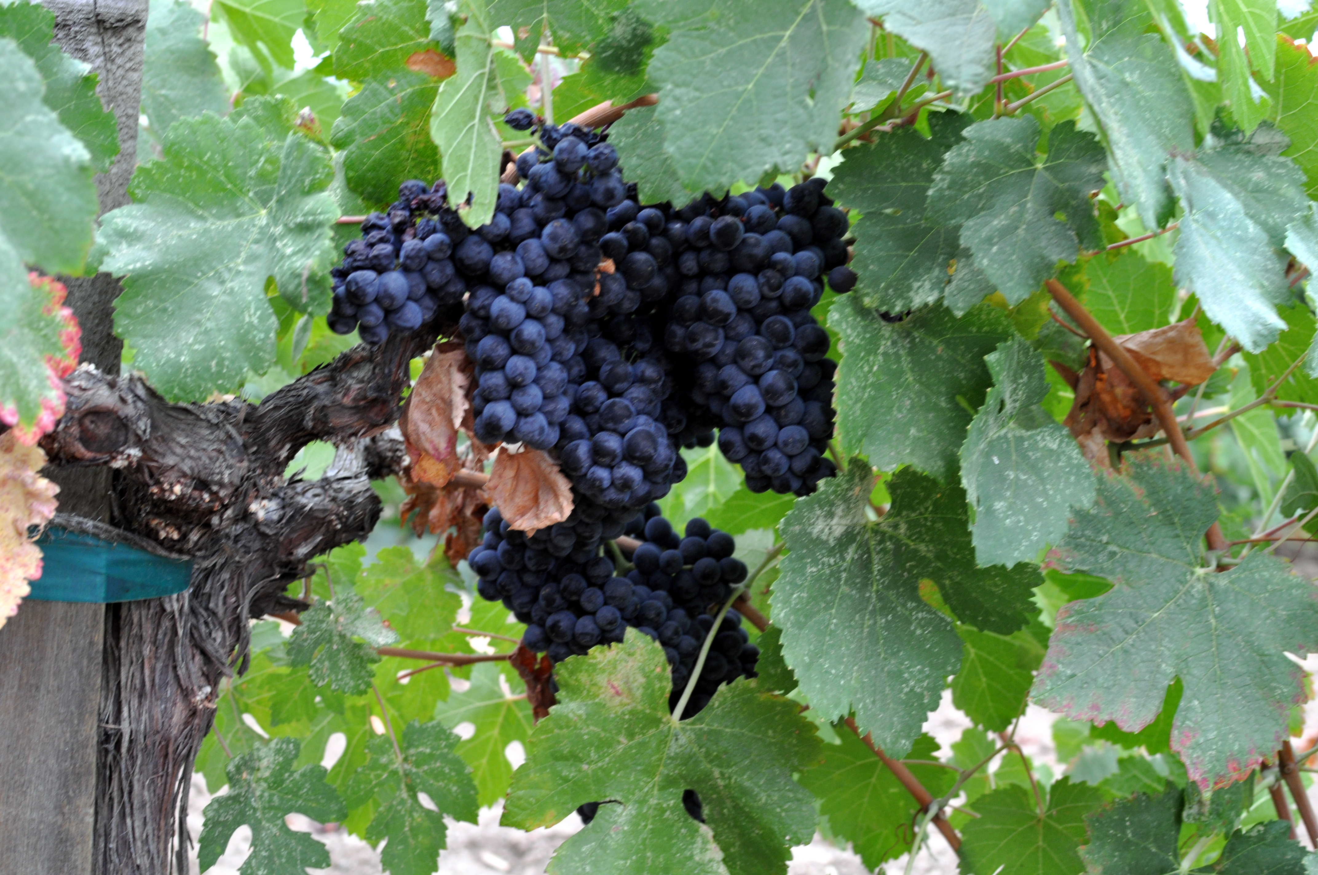 Napa Valley grapes Photo D Ramey Logan 02