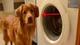 Il cane apre la lavatrice e fa il bucato, le immagini