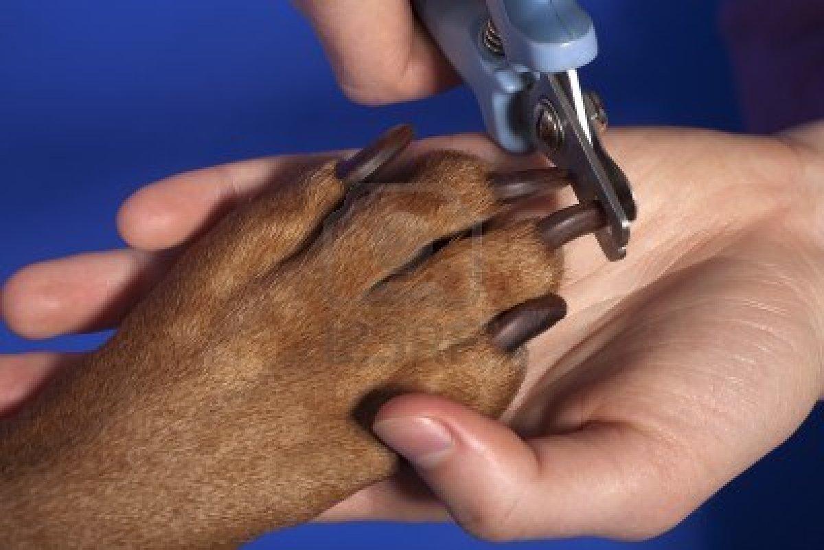 12430684 chiudere su taglio unghie del cane con l 39 attrezzo speciale su sfondo blu
