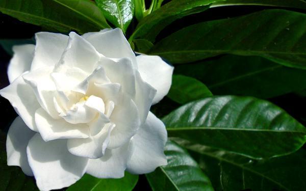 Piantare gardenie & cura dall'ambiente interno
