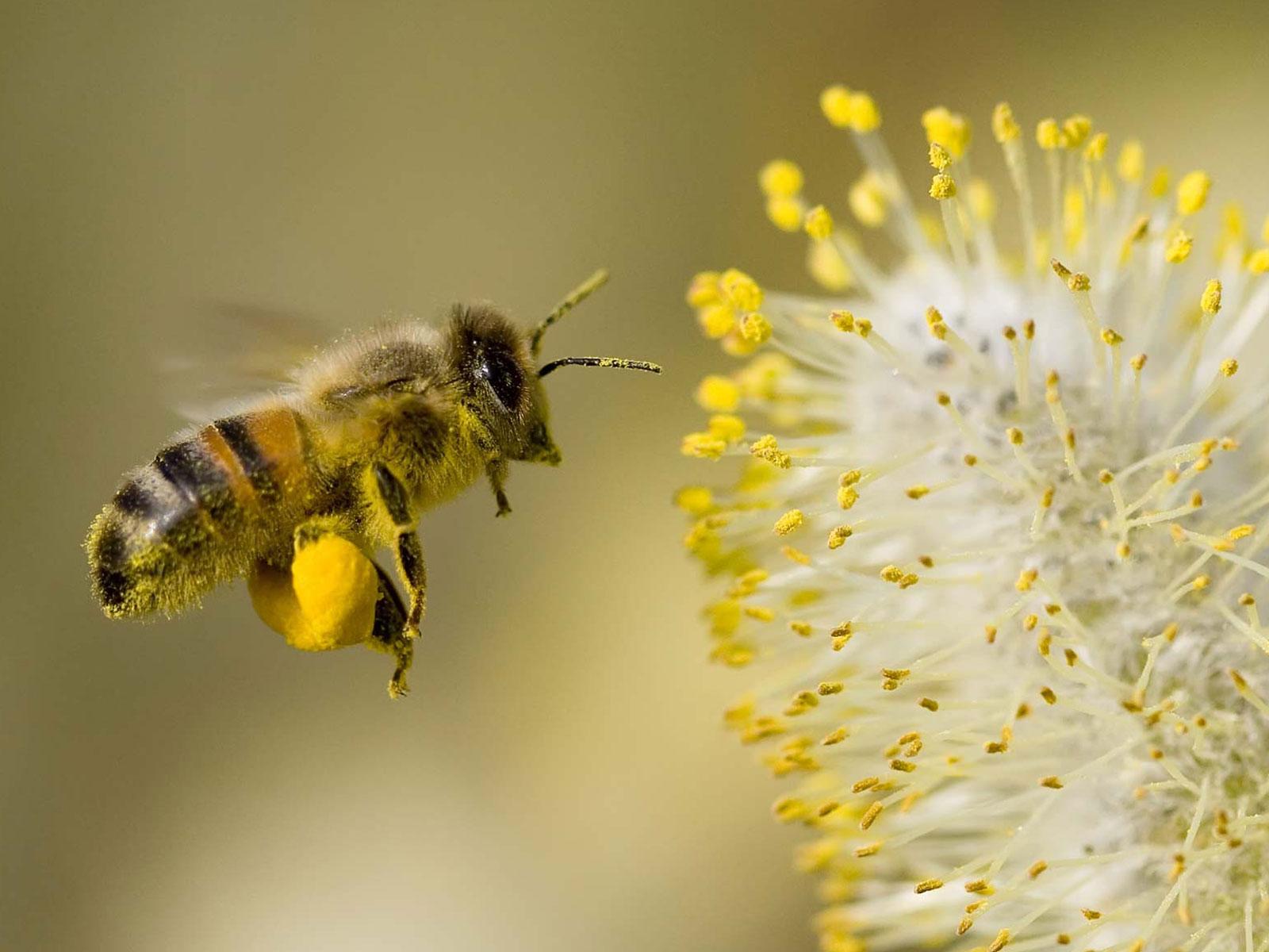 Cosa fare in caso di puntura di ape