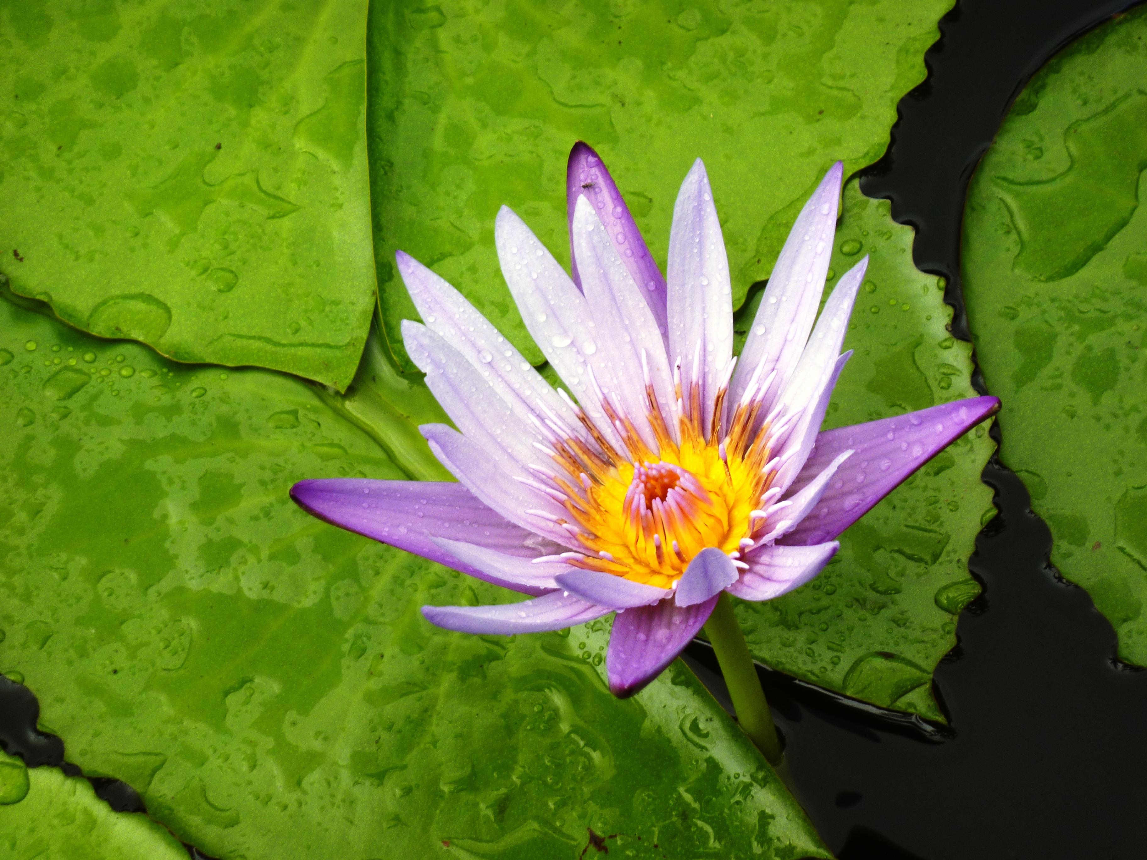 Fiore di loto: simbologia, tatuaggi e significato
