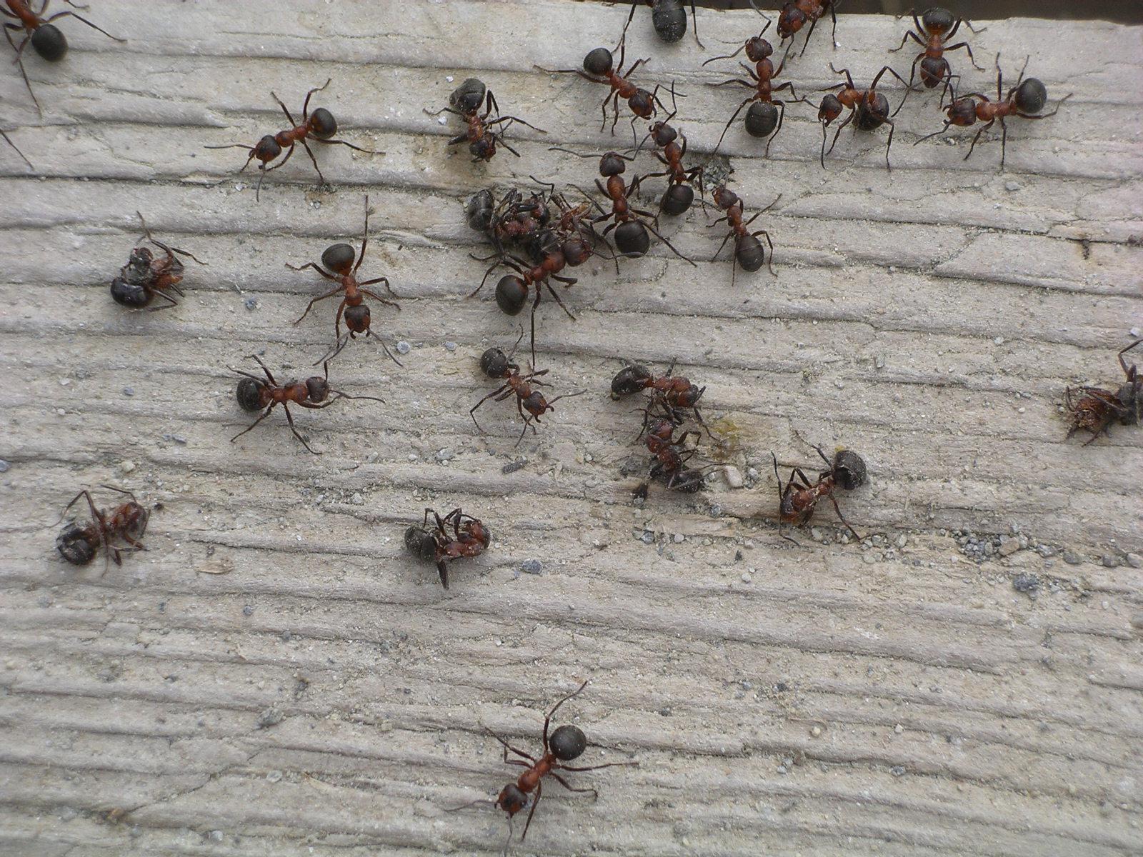 Come mandare via le formiche con rimedi naturali - Come debellare le formiche in casa ...