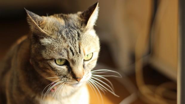 Quali sono sintomi disidratazione gatto