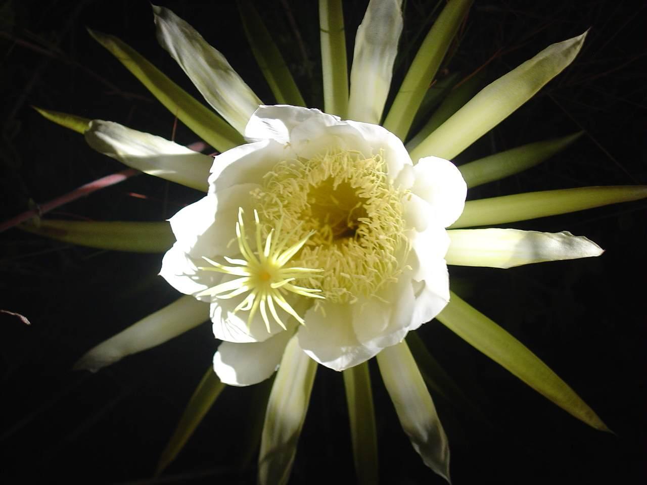 Piccola enciclopedia i fiori che sbocciano di notte for Fiori che sbocciano