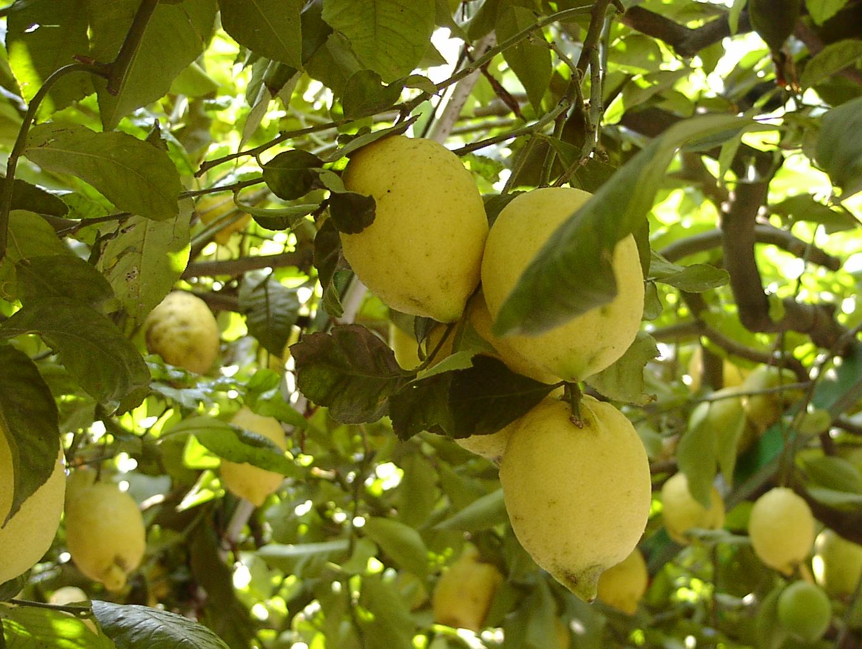 Proprietà benefiche del limone