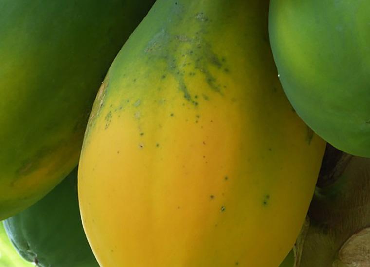 Valori Nutrizionali e Calorie: Papaya