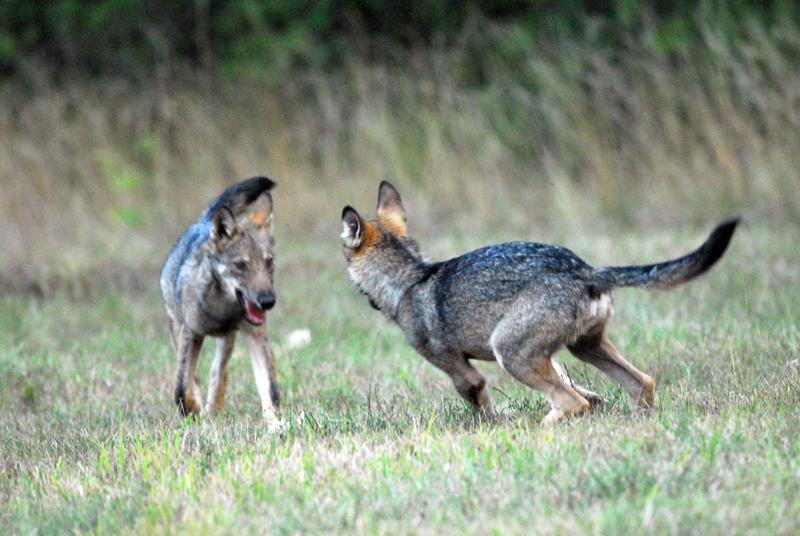 Come adottare cucciolo lupo  italico