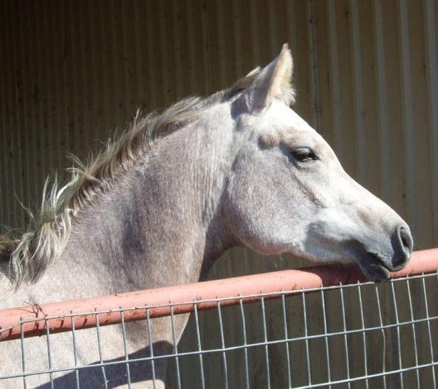 Quanto costa un cavallo arabo for Quanto costa mantenere un cavallo
