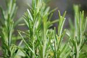 Utilizzi dell'olio di rosmarino biologico