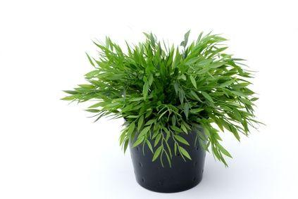 Rimuovere i moscerini dalle piante da interno in vaso