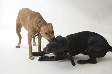Come educare il cane a non mordere