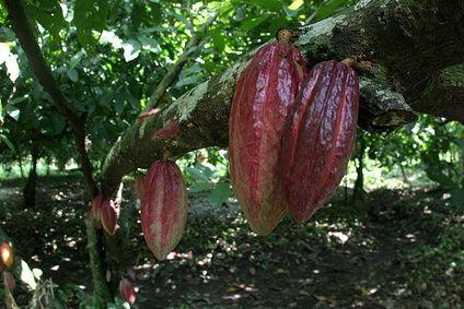 Come si ricava il cioccolato dai semi di cacao?