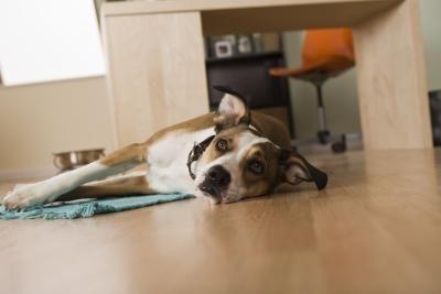 Cosa fare se il cane fa la pipì in casa