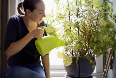 Come uccidere i moscerini delle piante da interni con l'acqua ossigenata