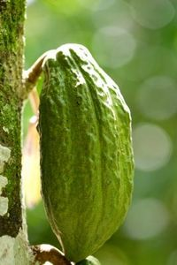 Utilizzi dei semi di cacao