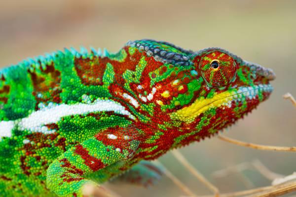 Perché cambiano colore i camaleonti