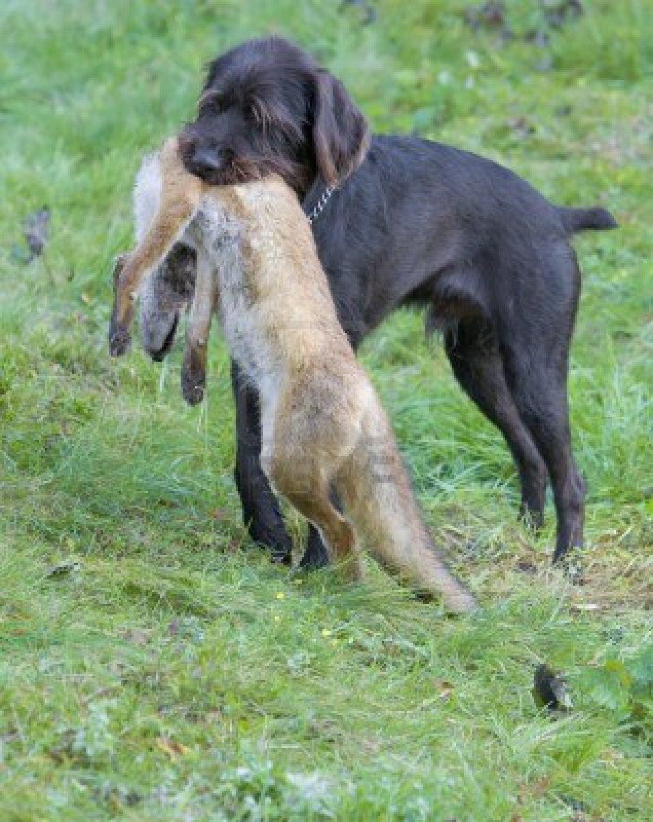 Come addestrare un cane da caccia - Colorazione immagine di un cane ...