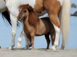 Ritrovato in Lombardia il pony più piccolo del Mondo