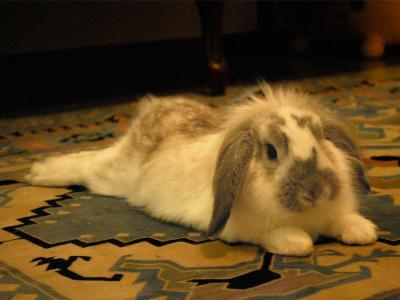 Consigli per la sicurezza domestica del vostro coniglio (Pt 2)