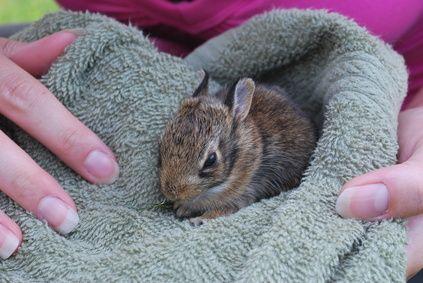 Come rimuovere un coniglio maschio dalla gabbia una volta nati i cuccioli