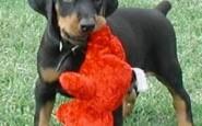 Come addestrare un cucciolo di Dobermann
