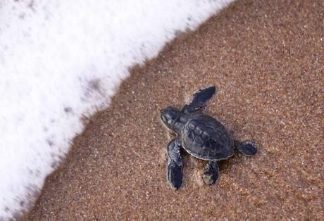 Le tartarughe a rischio del Costa Rica