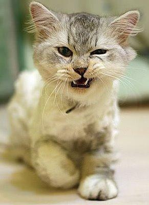Come dare le pasticche al gatto