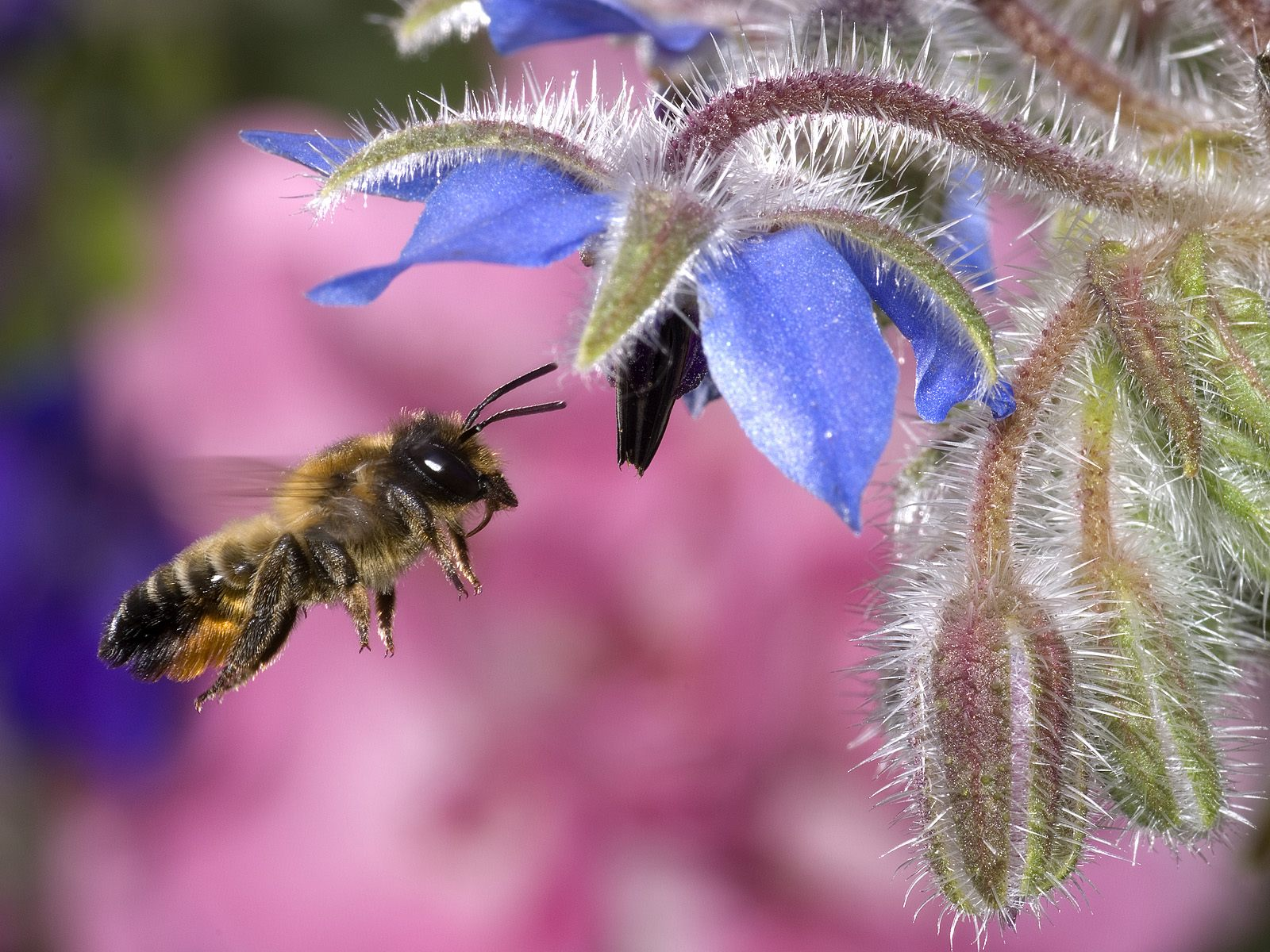 hovering honey bee normal