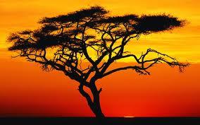 Piccola enciclopedia: l'Acacia