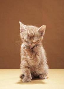 I rischi dei boli di pelo nei gatti