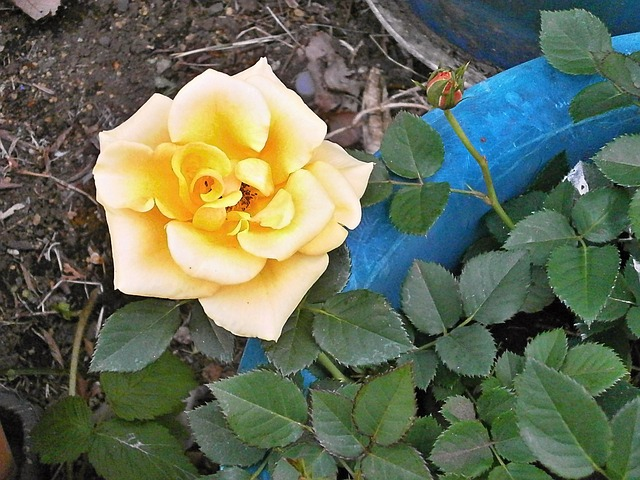 Come coltivare le rose sul balcone