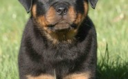 Come addestrare un cucciolo di Rottweiler