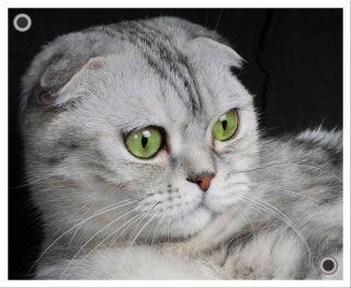 Perché i gatti hanno delle piccole tasche sulle orecchie?
