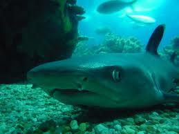 Perchè gli squali attaccano l'uomo