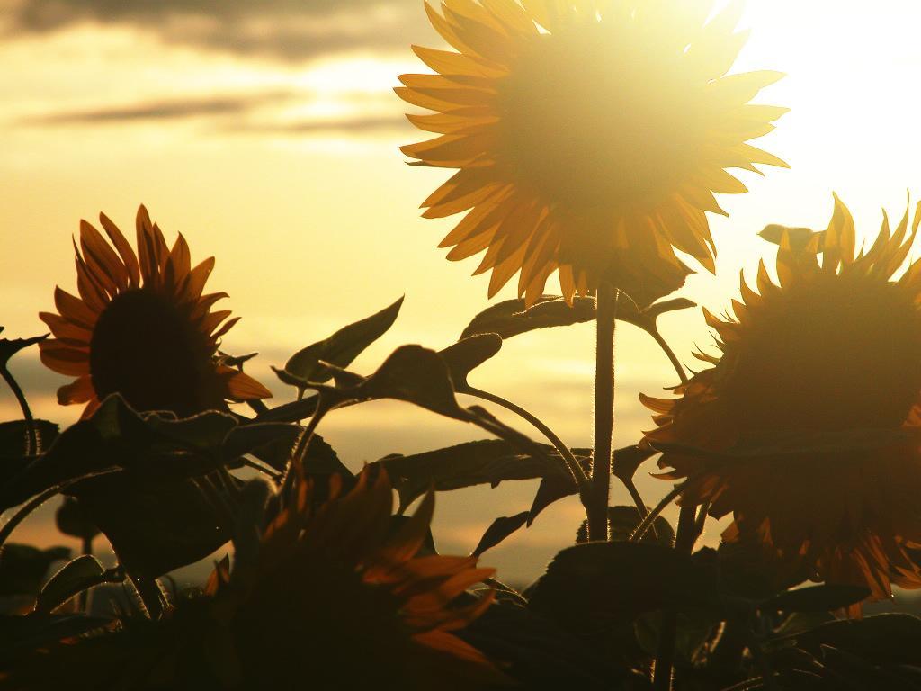 Il Girasole, fiore miracoloso!
