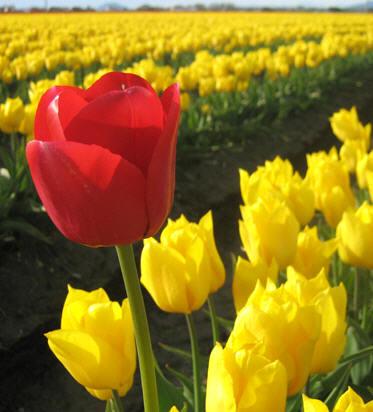 Quando piantare i bulbi di tulipano