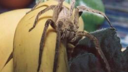 ragno nelle banane