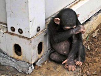 Una scimmia della stessa razza di quella che avrebbe causato il balckout di 3 ore in Kenya