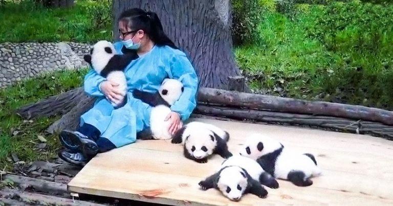 """Il lavoro migliore del mondo diventare un """"abbraccia-panda"""" professionista"""