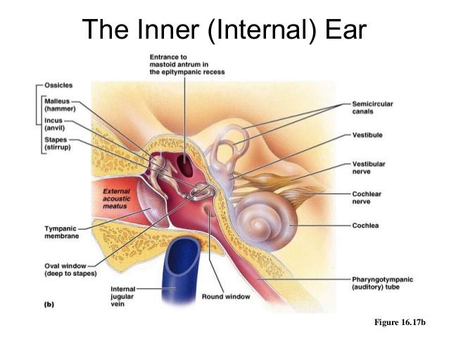 orecchio interno