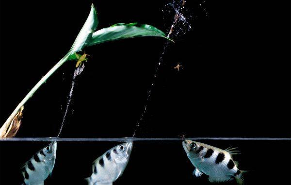 Il pesce arciere