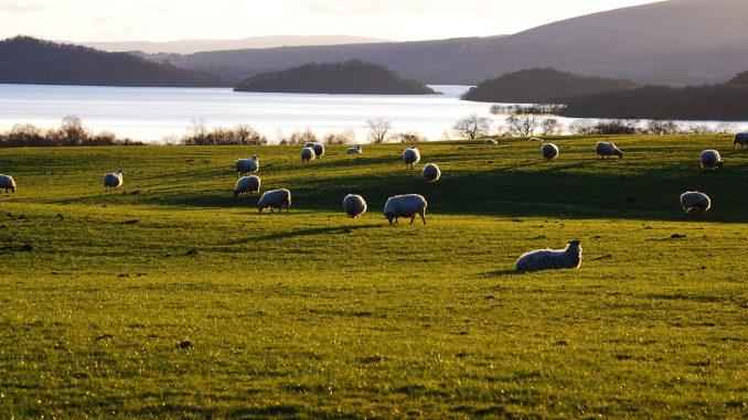 Pecore alle Faroe