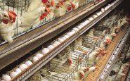 Sodexo: entro il 2025 stop galline in gabbia