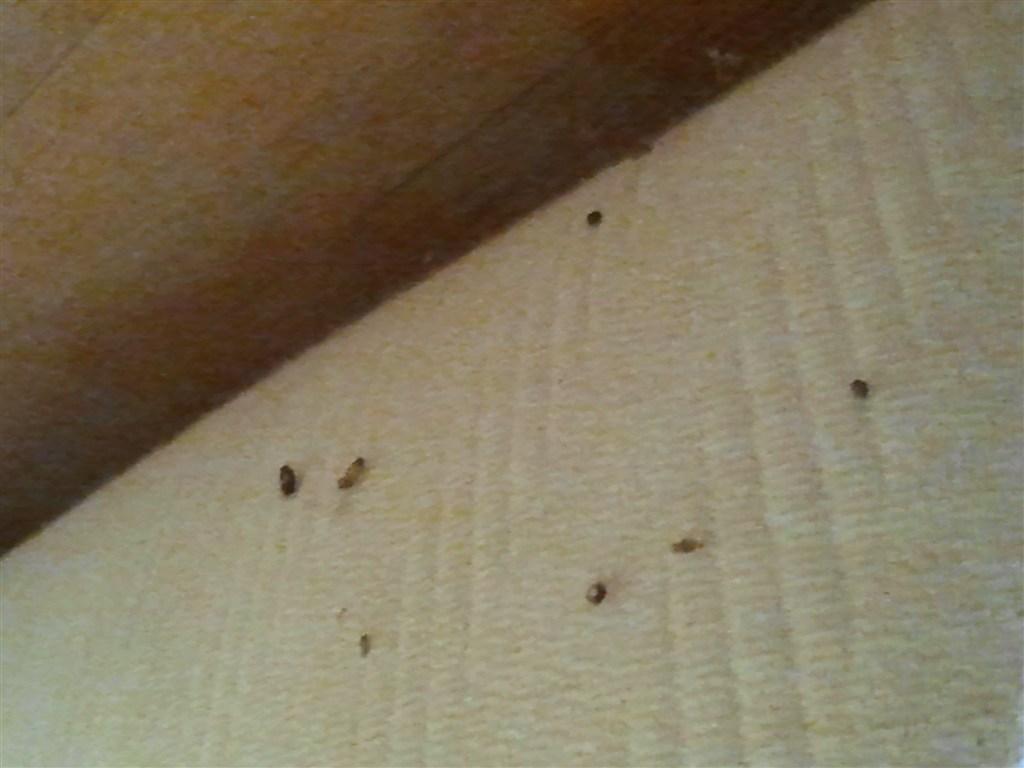 Cimici cosa bisogna sapere - Insetti piccolissimi neri nel letto ...
