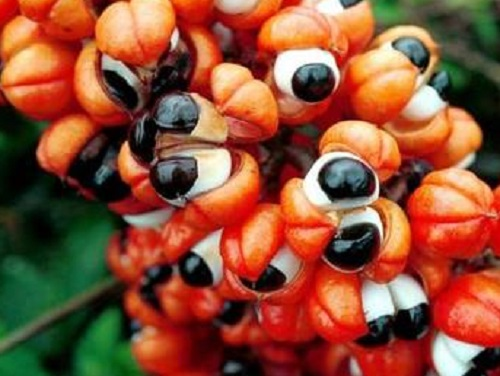 Guaranà: dieta per bruciare grassi e tonificare